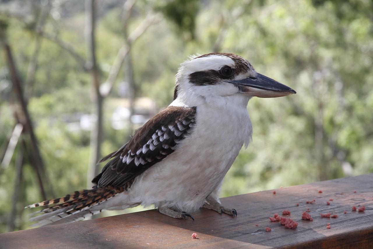 jaegerliest, dacelo novaeguineae, bird